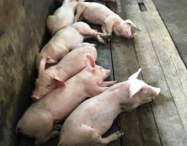 Bán tháo lợn bị lở mồm long móng với giá 100 nghìn/con?