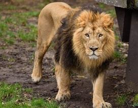 Sư tử sổng chuồng giết chết thực tập sinh ở Mỹ