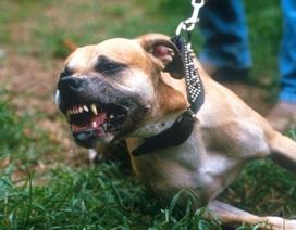 Hà Nội: Người đàn ông bị chó Pitbull tấn công phải nhập viện