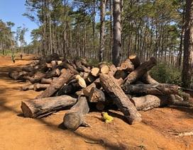 Lợi dụng dọn dẹp cây bụi, phá nát hàng trăm cây rừng cộng đồng