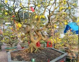 Ngắm những cây mai vàng giá hàng trăm triệu ở chợ hoa xuân