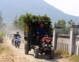 Phú Yên: Kiếm tiền từ phụ bán quất cảnh dịp cận Tết