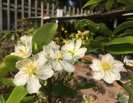 Ngắm cây mai trắng Miến Điện độc, hiếm ở miền Tây
