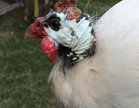 Đẻ nghìn con mới ra một con, đại gia săn lùng gà sao bạch tạng chơi Tết