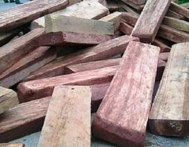 Phát hiện một lượng lớn gỗ lâm tặc chưa kịp đưa ra khỏi rừng