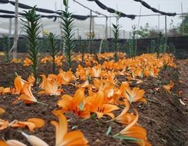 """Giá hoa ly """"rẻ chưa từng có"""", người trồng để mặc hoa rụng đầy gốc"""