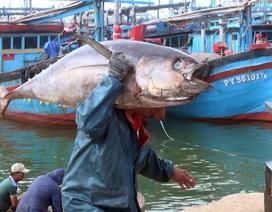 Phú Yên: Kiếm trên chục triệu mỗi chuyến đánh bắt cá ngừ đại dương