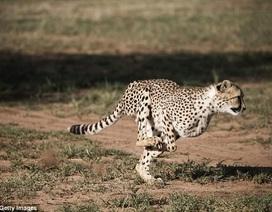 Bí mật về khả năng săn bắt ở tốc độ cao đáng kinh ngạc của báo đốm