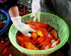 Chợ cá lớn nhất Hà Nội rực vàng trước ngày cúng ông Công ông Táo
