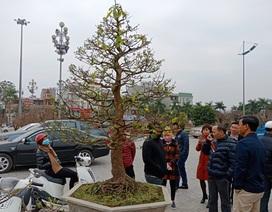 """Đại gia Ninh Bình """"rinh"""" cây mai khủng gần 200 triệu về chơi Tết"""