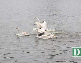 Hà Nội bất ngờ chuyển 12 con thiên nga khỏi hồ Hoàn Kiếm