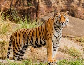 Tai nạn kinh hoàng khi nhân viên gánh xiếc cho hổ ăn