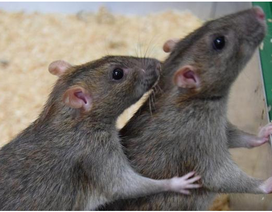 Hoạt động thú vị của loài chuột