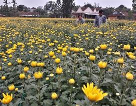 Thủ phủ hoa cúc vàng rực ngày giáp Tết
