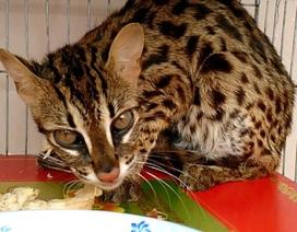 Thả một cá thể mèo gấm quý hiếm về tự nhiên
