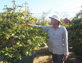 Thời tiết bất thường, người trồng mai thấp thỏm chờ Tết