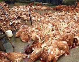 Nghi do ăn thịt gà chết, hàng chục người nhập viện