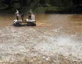 Giá cá tra tăng cao kỷ lục trong vòng 10 năm qua