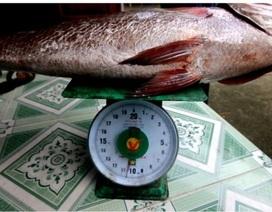 Ngư dân câu được cá hơn 10kg nghi là sủ vàng quý hiếm