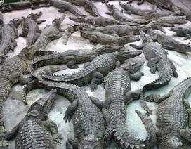 Giá cá sấu tăng gấp đôi sau một thời gian rớt thê thảm