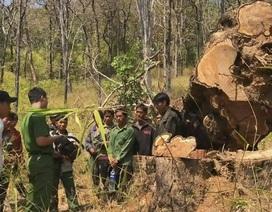 20 lâm tặc bao vây cướp gỗ, 2 cán bộ bảo vệ rừng bị thương