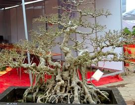 """Bộ ba cây sanh """"hóa thạch"""" 30 tỷ đồng xôn xao hội chợ Hà Nội"""
