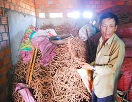 Người dân đổ xô đi đào rễ tiêu bán cho thương lái Trung Quốc