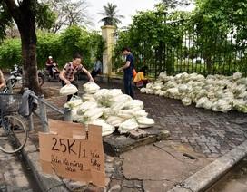 Nông dân huyện Mê Linh đang trồng tới 80ha củ cải
