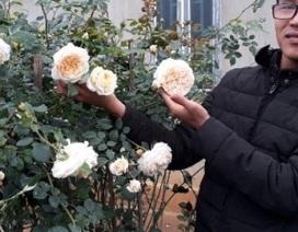 Kiếm trăm triệu mỗi năm nhờ nhân giống hoa hồng ngoại