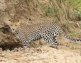Người dân vùng cao huyện Hải Lăng không dám vào rừng vì sợ thú dữ ăn thịt