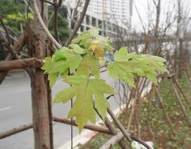 Hàng cây phong lá đỏ nảy chồi xanh giữa Hà Nội