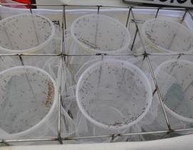Chính thức thả muỗi phòng bệnh sốt xuất huyết ở ngoại ô Nha Trang
