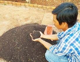 Bà Rịa - Vũng Tàu: Nông dân lao đao vì tiêu rớt giá thảm
