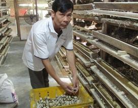 Nuôi 10.000 con chim cút, bỏ túi gần 20 triệu đồng/tháng