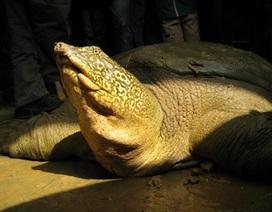 Phát hiện thêm cá thể cùng loài với rùa Hoàn Kiếm ở ngoại thành Hà Nội