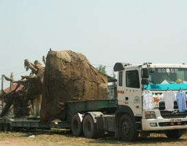 """3 xe chở cây """"khủng"""" chưa thể di chuyển ra khỏi Huế"""