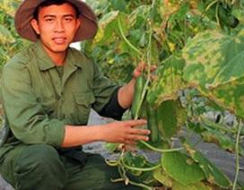 Trai 9x trồng dưa chuột to và tròn lãi chục triệu/tháng