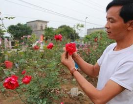"""Gặp anh nông dân """"máu liều"""" cầm sổ đỏ mua 300 cây hồng cổ"""