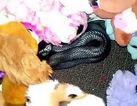 Cha kinh hãi phát hiện rắn cực độc lẩn trốn trong đống đồ chơi của con