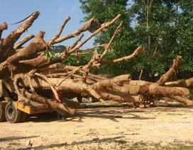 """Truy được nguồn gốc một cây """"quái thú"""""""