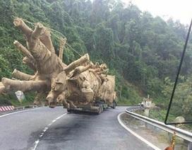 """Kỳ lạ CSGT 16 tỉnh thành """"không nhìn thấy"""" xe chở cây  """"quái thú"""" (!?)"""