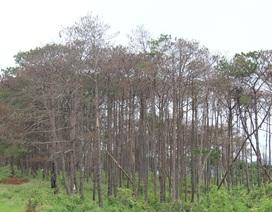 """""""Bức tử"""" rừng thông để lấy đất mặt đường chờ ngày lập huyện mới?"""