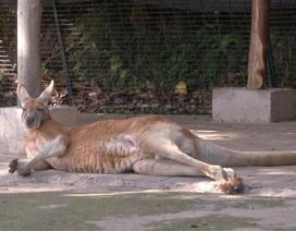 Phẫn nộ du khách Trung Quốc ném gạch chết chuột túi trong sở thú