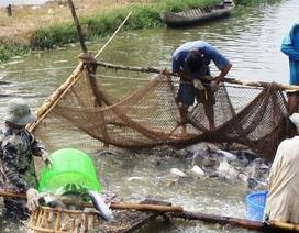 Thương lái Trung Quốc ra sức mua cá tra Việt, đem tăng trọng… rồi xuất khẩu