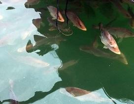 Cá, mực nuôi lồng bè chết bất thường ở cảng Vũng Áng