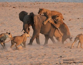 Khoảnh khắc voi con đơn độc chống trả đàn sư tử săn mồi