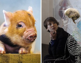 Não lợn sống hai ngày ngoài cơ thể, tiếp đến là não người?