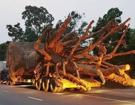 """2 cây """"quái thú"""" rời Đắk Lắk với thủ tục chóng vánh"""