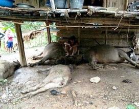 Một gia đình bị sét đánh chết cả 4 con trâu