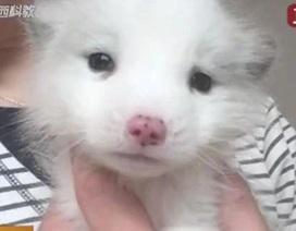Mua chó Nhật nuôi gần một năm mới biết đấy là cáo